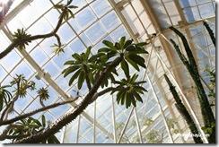Madagascar_palm-Pachypodium_lamerei